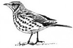 song-thrush-drawing