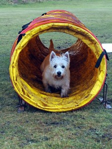 LITTLE BIG BELLA: Margaret Sewell's little Westie, Bella, joins in the action and has a go at the agility course