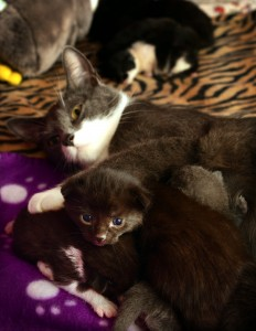 Bonus: Kittens with mum Nerine who was the 100th cat fostered by Joanne Park before they came along