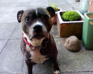 Shocked: Conker the Staffordshire Bull Terrior