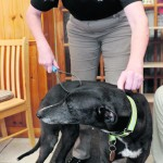 Jenny Stott demonstrates how to remove excess hair from a greyhound.