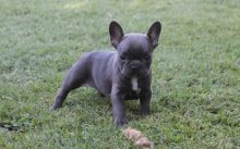 Kc Registered Gorgeous French Bulldog Puppies