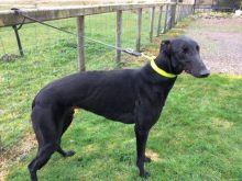 Jet at Dumfriesshire and Cumbria Greyhound Rescue