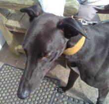 Pedro at Dumfriesshire and Cumbria Greyhound Rescue