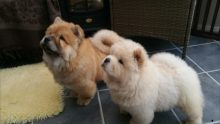 Two Stunning Pure Chow Chow Boy Puppies available to loving homes
